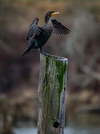 Sauvie Island Birds 1-6-18 54