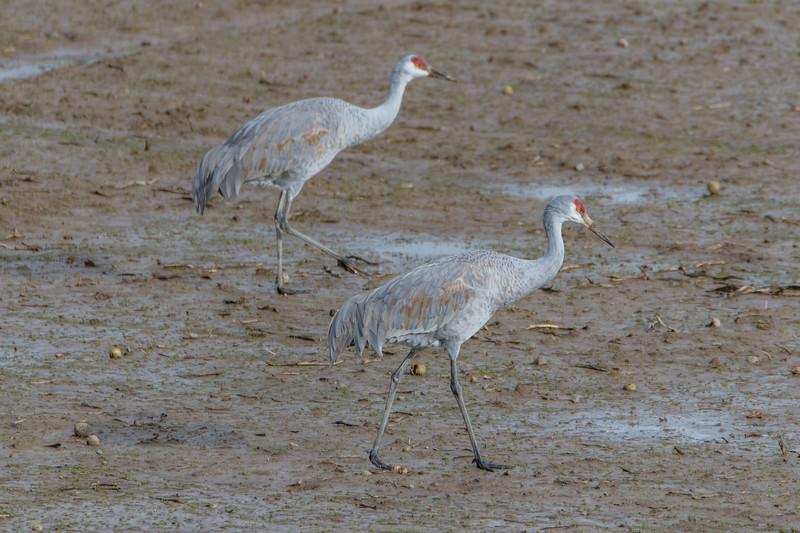 Sauvie Island Birds 1-6-18 14