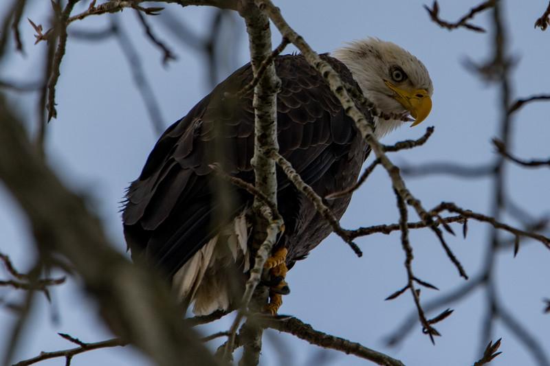 Sauvie Island Birds 1-6-18 39