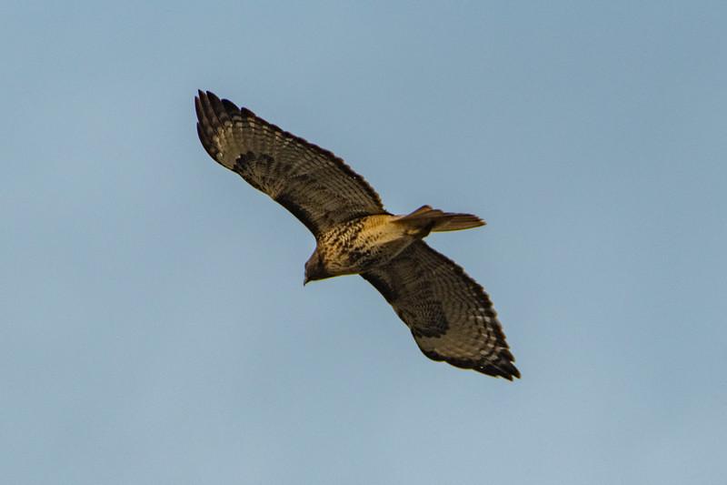 Sauvie Island Birds 1-6-18 125