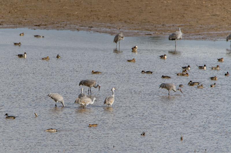 Sauvie Island Birds 1-6-18 7