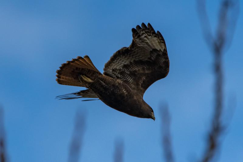 Sauvie Island Birds 1-6-18 46