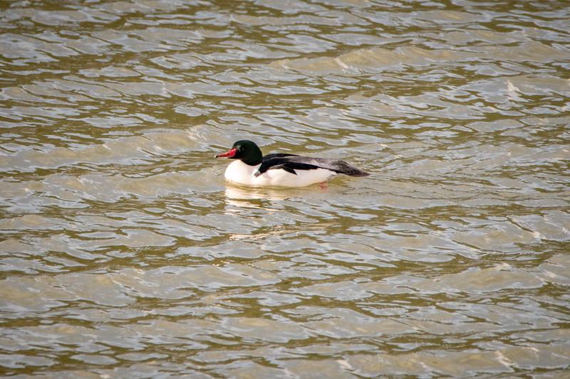 Sauvie Island Birds 1-6-18 59