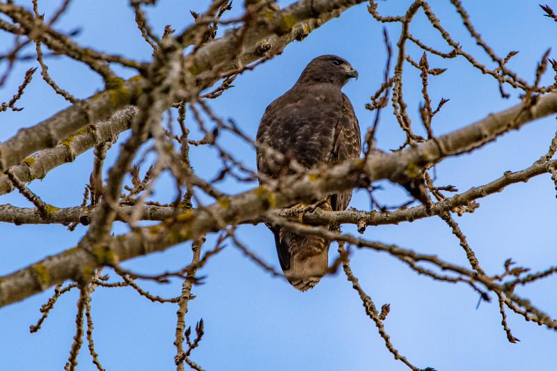 Sauvie Island Birds 1-6-18 45