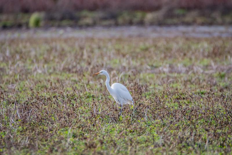 Sauvie Island Birds 1-6-18 146