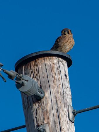 Sauvie Island Birds 1-6-18 79
