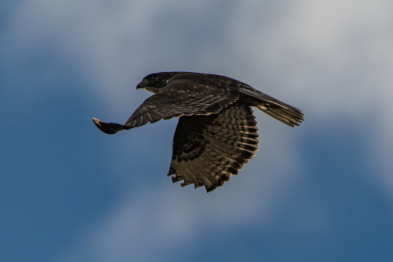 Sauvie Island Birds 1-6-18 58