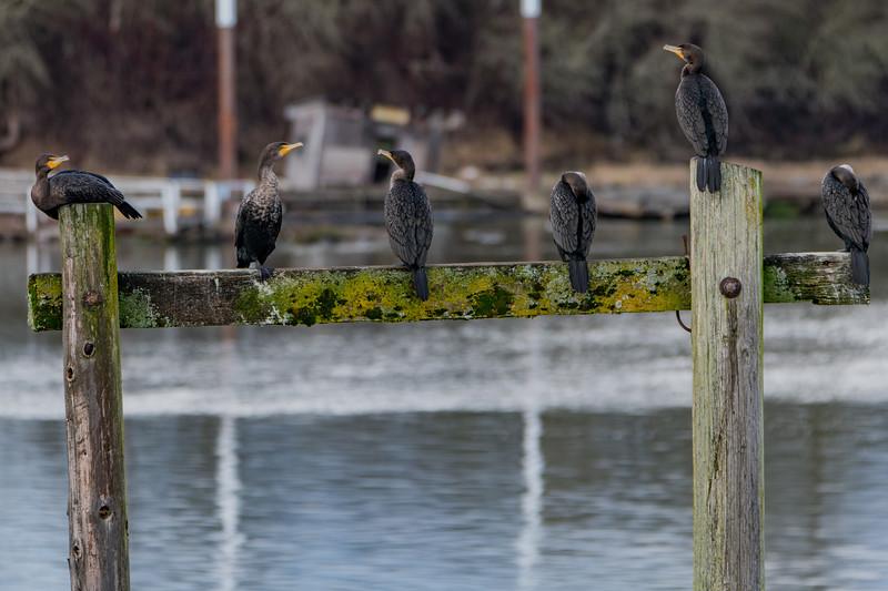 Sauvie Island Birds 1-6-18 22