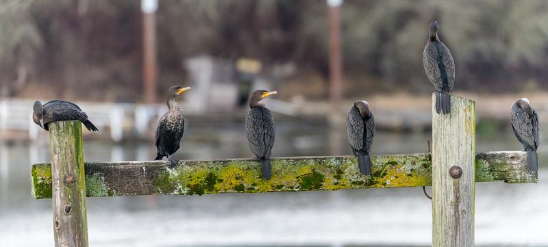 Sauvie Island Birds 1-6-18 25
