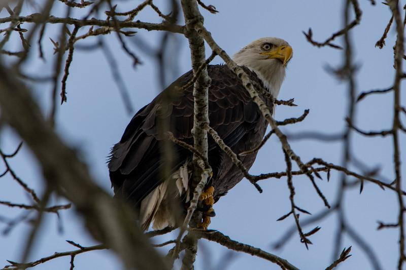 Sauvie Island Birds 1-6-18 38