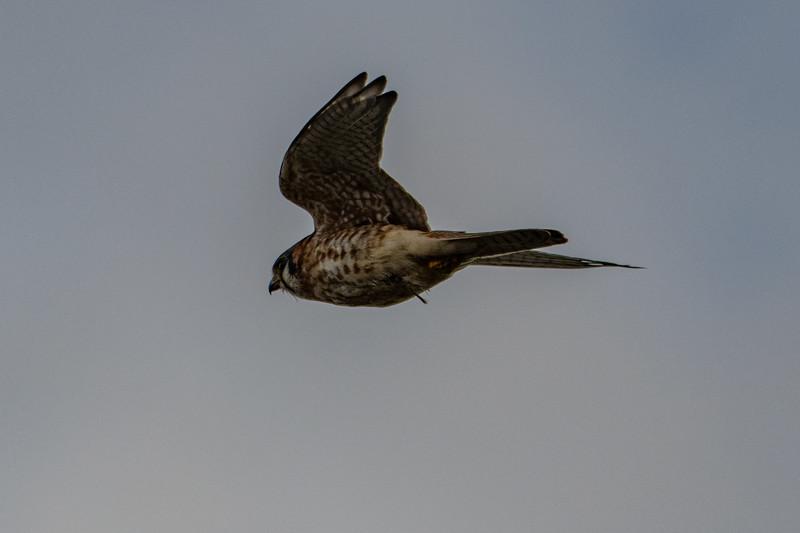 Sauvie Island Birds 1-6-18 134