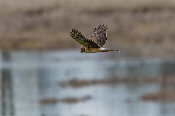 Sauvie Island Birds 1-6-18 98