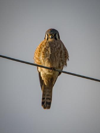 Sauvie Island Birds 1-6-18 82