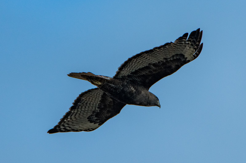 Sauvie Island Birds 1-6-18 47