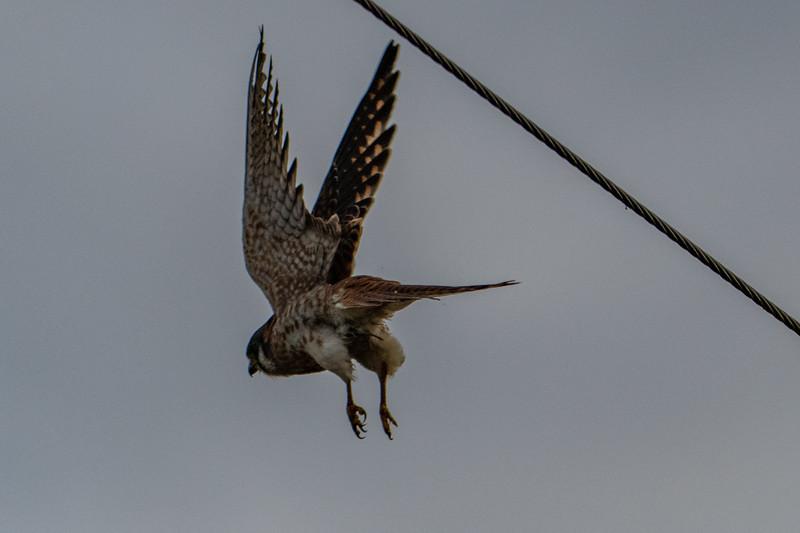 Sauvie Island Birds 1-6-18 137