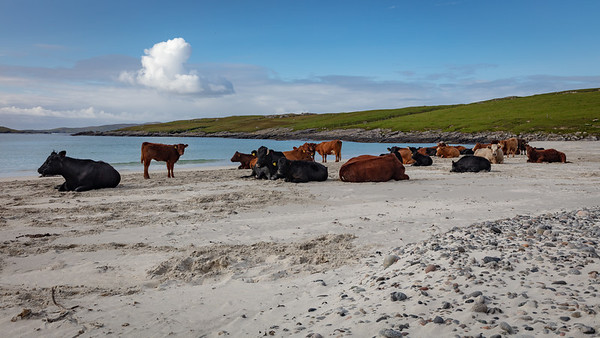 Beaching bovines, Vatersay, Outer Hebrides