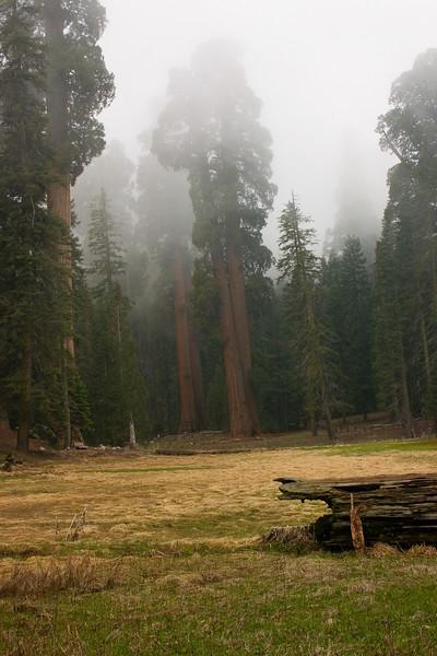Sequoias in the Fog
