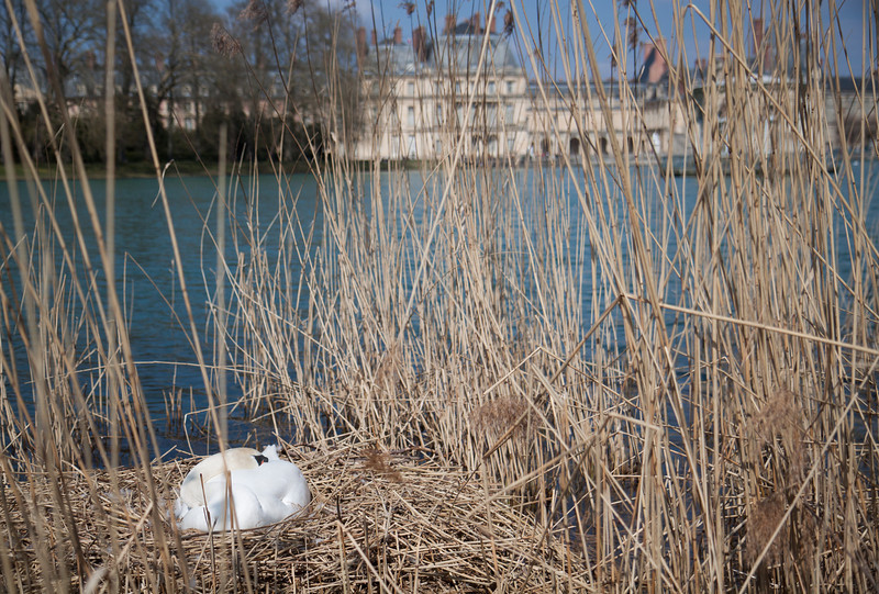It's the first time I see a swan nest, it's really huge!