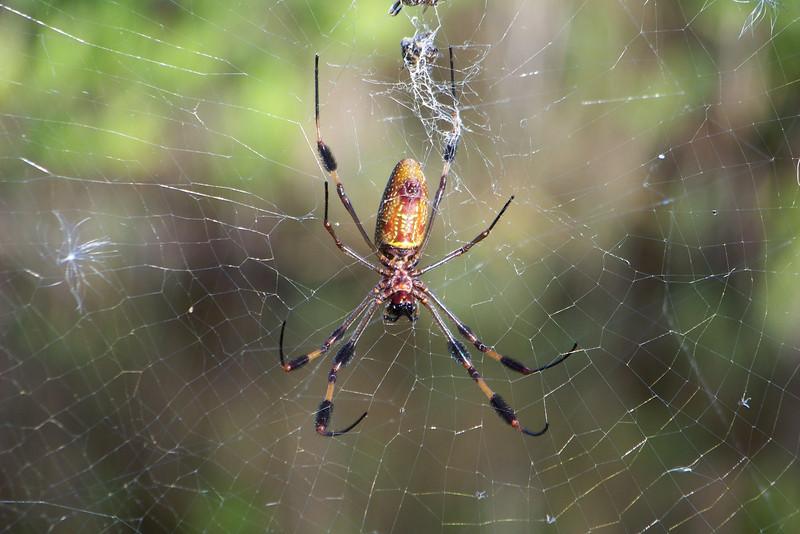 Golden Silk Orbweaver -- she is a big spider!