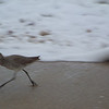 Willet and wave