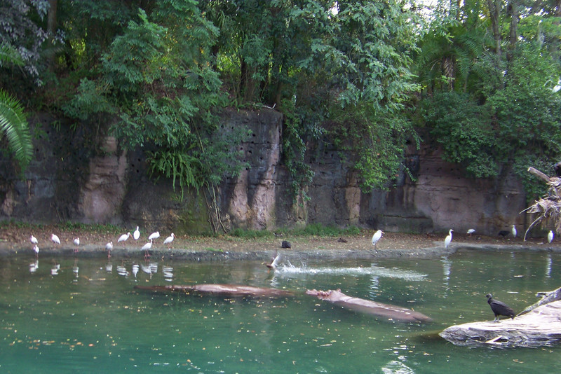 We take the Kilimanjaro Safari in Animal Kingdom, and see this nice collection of birds (Black Vultures, White Ibis, egrets), and a couple of hippos.
