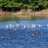 Bunch o' Birds:  American Avocets mostly, with a Willet and some Blue-winged Teal