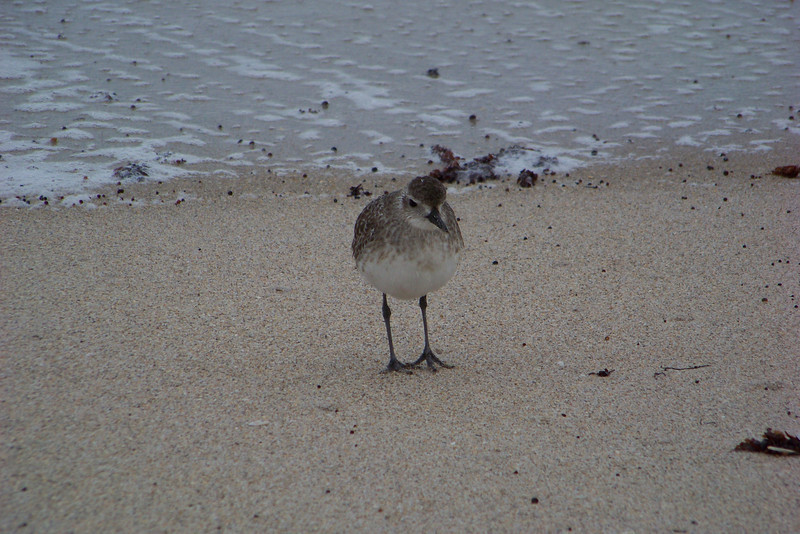 Black-bellied Plover, we think.