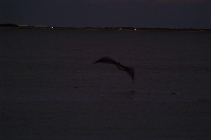 Brown Pelican flying in the almost-dark.
