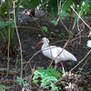 A White Ibis in Animal Kingdom forages next to our picnic spot.