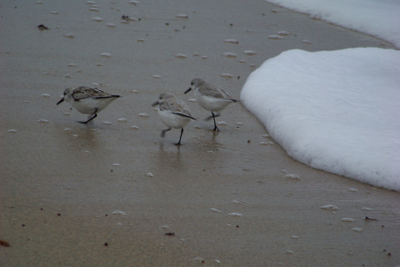 The Sanderlings making life miserable for some small crustaceans.