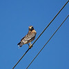Red-shouldered Hawk (Buteo lineatus)  <br /> <br /> Day 6 - We headed into the Merritt Island National Wildlife Refuge for a birding tour, and this beauty greeted us first thing in the morning.