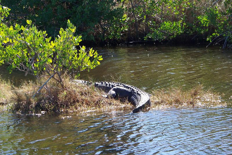 Alligator Butt  (Alligatorus Buttskus)