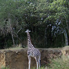 The animals, such as this giraffe, are in very authentic-looking exhibits, and seem to have lots of room to roam.
