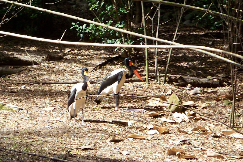 Saddle-billed Storks.  We watched them being fed; a keeper tossed them fish from across the moat; the wild White Ibises would hang around during feeding time to catch anything these birds missed.