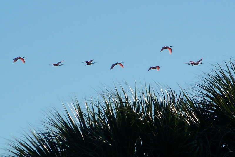 Roseate Spoonbill flock (Ajaia ajaja)