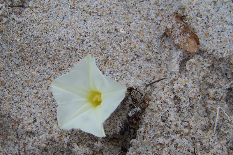 We admire the sand up close, almost prettier than this beach flower.