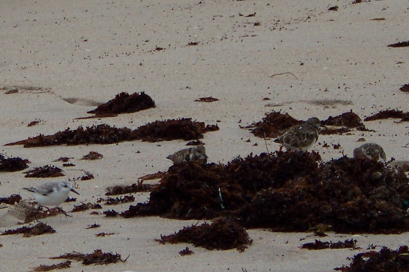 The Ruddy Turnstones picked through the seaweed while the Sanderlings played chicken with the waves, as usual.