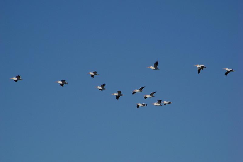 American White Pelicans (Pelecanus erythrorhynchos)