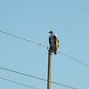Osprey -- Panlion haliaetus