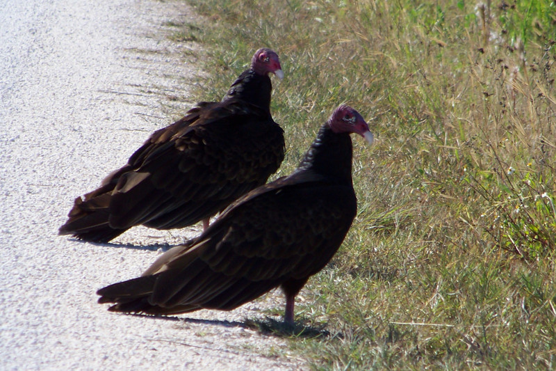 Turkey Vultures -- a face only a mother could love
