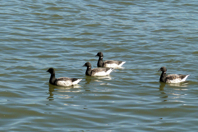 We found a nice gathering of Brant Geese off Liberty Island