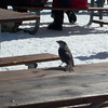 We enjoy our lunch outside again, where Gray Jays are trying to steal food.