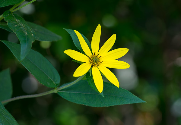 Smokies Yellow Flower