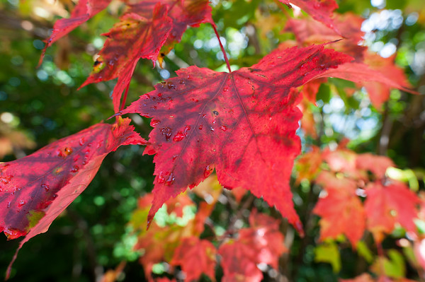 The Smokey Red Leaf