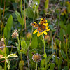 Unidentified butterfly on what is probably Arnica