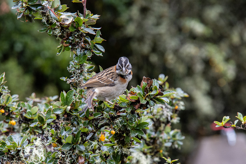 Andean Rufous Collared Sparrow