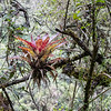 Bromeliad in the Trees