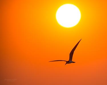 African Skimmer, Chobe River, NAM, Oct 2016-14