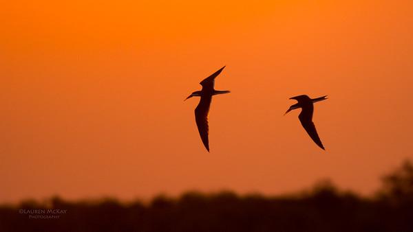 African Skimmer, Chobe River, NAM, Oct 2016-15