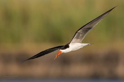 African Skimmer, Chobe River, NAM, Oct 2016-24